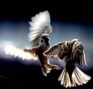 2 burung gereja+
