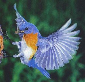 burung biru