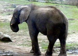 Gajah+