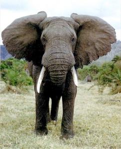 Elephant african+